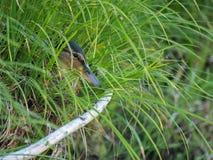 Dzika kaczka chuje w gęstej trawie Obrazy Royalty Free