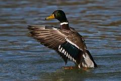 Dzika kaczka lub mallard, Anas platyrhynchos w jeziorze obrazy stock