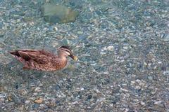 Dzika kaczka na jesień liści jeziorze, Południowa wyspa, Nowa Zelandia Zdjęcie Royalty Free