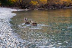 Dzika kaczka na jesień liści jeziorze, Południowa wyspa, Nowa Zelandia Fotografia Royalty Free