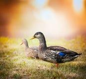 Dzika kaczka na trawie na tle piękny natury i zmierzchu niebo Obraz Royalty Free