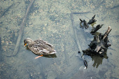 Dzika kaczka patrzeje dla jedzenia Obrazy Royalty Free