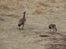 Dzika kaczka safari Ngorongoro, Tarangiri w Afryka - Obraz Royalty Free
