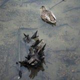 Dzika kaczka unosi się wciąż Zdjęcia Stock