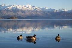 Dzika kaczka w Jeziornym Wanaka Fotografia Stock