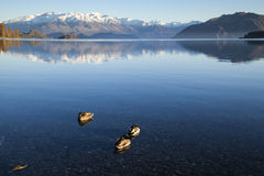 Dzika kaczka w Jeziornym Wanaka Zdjęcia Stock