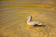 dzika kaczka w lecie na jeziorze W wodzie femaleness fotografia stock
