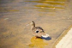 dzika kaczka w lecie na jeziorze W wodzie femaleness obrazy royalty free