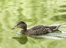 Dzika kaczka w wodzie Zdjęcia Royalty Free