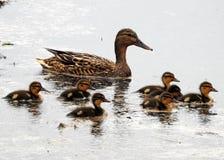 Dzika kaczka z kaczątek dziećmi Zdjęcia Stock