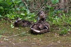Dzika kaczka z kaczątkiem zdjęcie royalty free