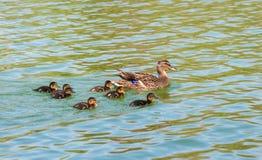 Dzika kaczka z kaczątkiem Fotografia Royalty Free