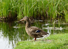 Dzika kaczka zostaje na riverbank blisko rzeki Obrazy Stock