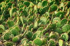 dzika kaktusowa tekstura Fotografia Stock