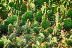 dzika kaktusowa tekstura Obrazy Royalty Free