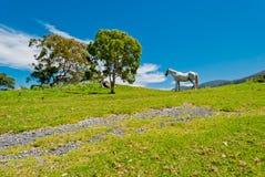 dzika końska natura Zdjęcie Stock