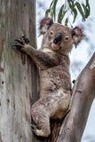 Dzika koala, Esk, Queensland, Australia, Listopad 2016 obrazy stock