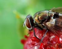dzika komarnicy truskawka Obrazy Stock