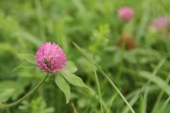 Dzika koniczyna w kwiacie z wibrującą zieloną trawą i menchii koniczynowym okwitnięciem Fotografia Stock
