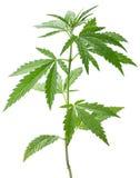 Dzika konopiana roślina fotografia stock