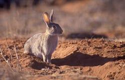 Dzika królik zaraza fotografia stock