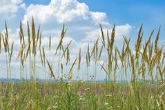 dzika kwiat piórkowa trawa Obraz Stock