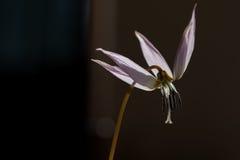 Dzika leluja, Erythronium canis obraz royalty free
