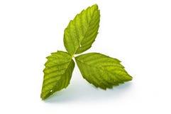 dzika liść truskawka Zdjęcie Stock