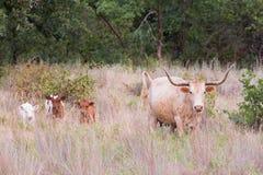 Dzika longhorn krowa z trójwierszami Zdjęcia Stock