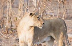 Dzika lwica w Południowa Afryka Obraz Stock