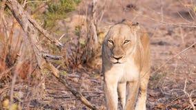 Dzika lwica w Południowa Afryka Obrazy Royalty Free