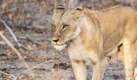 Dzika lwica w Południowa Afryka Zdjęcia Royalty Free