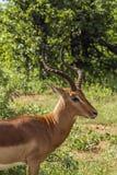 Dzika męska impala pozycja w sawannie w Kruger parku Obraz Stock