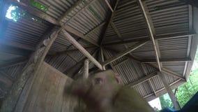 Dzika małpa w Sunbawa zbiory wideo