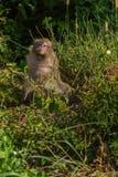 Dzika małpa Zdjęcia Stock