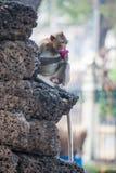 Dzika małpa w Lopburi Obrazy Royalty Free