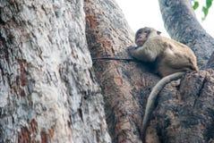 Dzika małpa w Lopburi Obraz Royalty Free