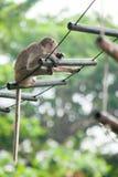 Dzika małpa w Lopburi Zdjęcie Stock