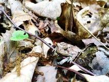 Dzika malutka camouflaged żaba zdjęcia stock