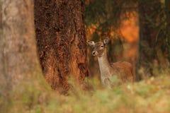 Dzika natura republika czech Piękna zwierzęca fotografia obrazy royalty free