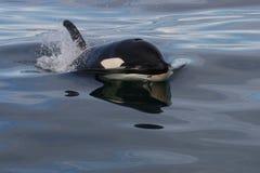 dzika ocean atlantycka orka Zdjęcia Stock