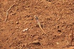 Dzika ogrodowa jaszczurka na szorstkiej ziemi Obrazy Royalty Free