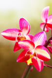 Dzika orchidea Zdjęcie Royalty Free