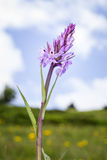 Dzika orchidea Obraz Stock
