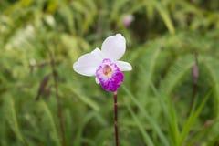 Dzika orchidea & x28; Bambusowy Orchid& x29; Zdjęcia Royalty Free