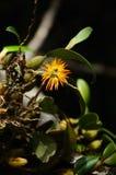 Dzika orchidea z ciemnym tłem. Fotografia Royalty Free