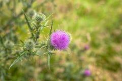 Dzika osetu kwiatu łąka Fotografia Royalty Free