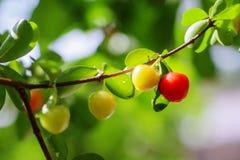 Dzika owoc, piękno natura fotografia royalty free