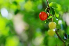 Dzika owoc, piękno natura zdjęcie royalty free
