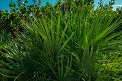 Dzika Palmowa roślina na plaży Obrazy Royalty Free